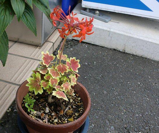 鉢植えにきのこ1.jpg